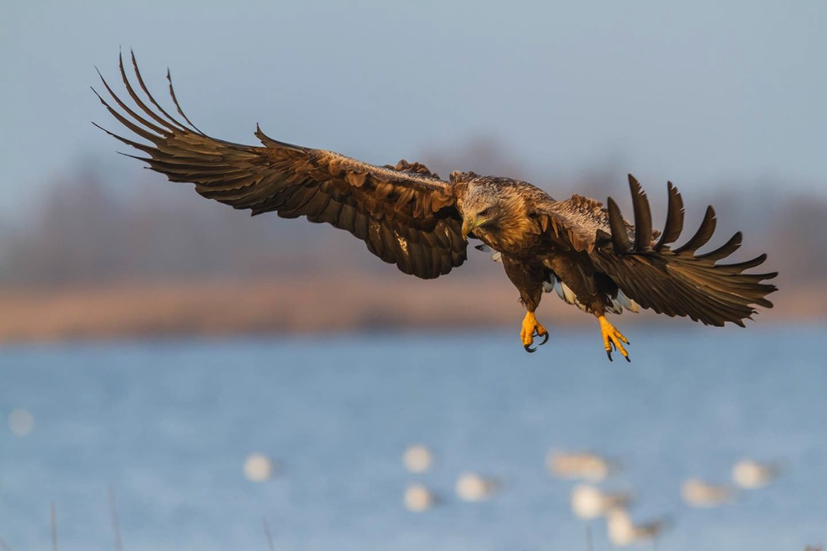White-tailed eagle. Photo by Boris Belchev